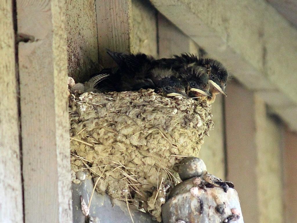 Barn Swallow Nests. | Seasons Flow