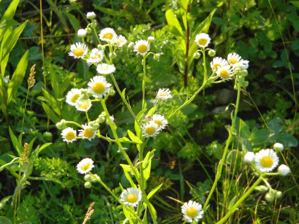 A common white wildflower in ohio spring and summer seasons flow this mightylinksfo