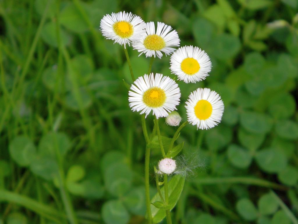 A Common White Wildflower In Ohio Spring And Summer Seasons Flow