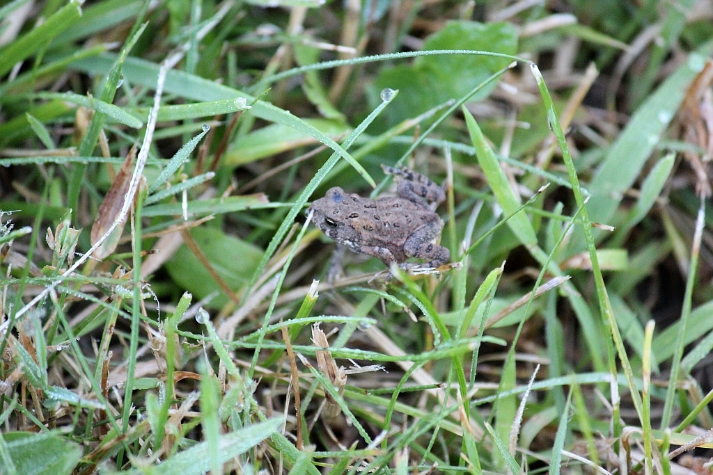 Fowlers Toad vs American Toad American Toad And Fowler 39 s