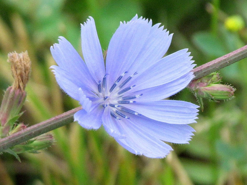 A Widespread Blue Wildflower for Ohio's Summer