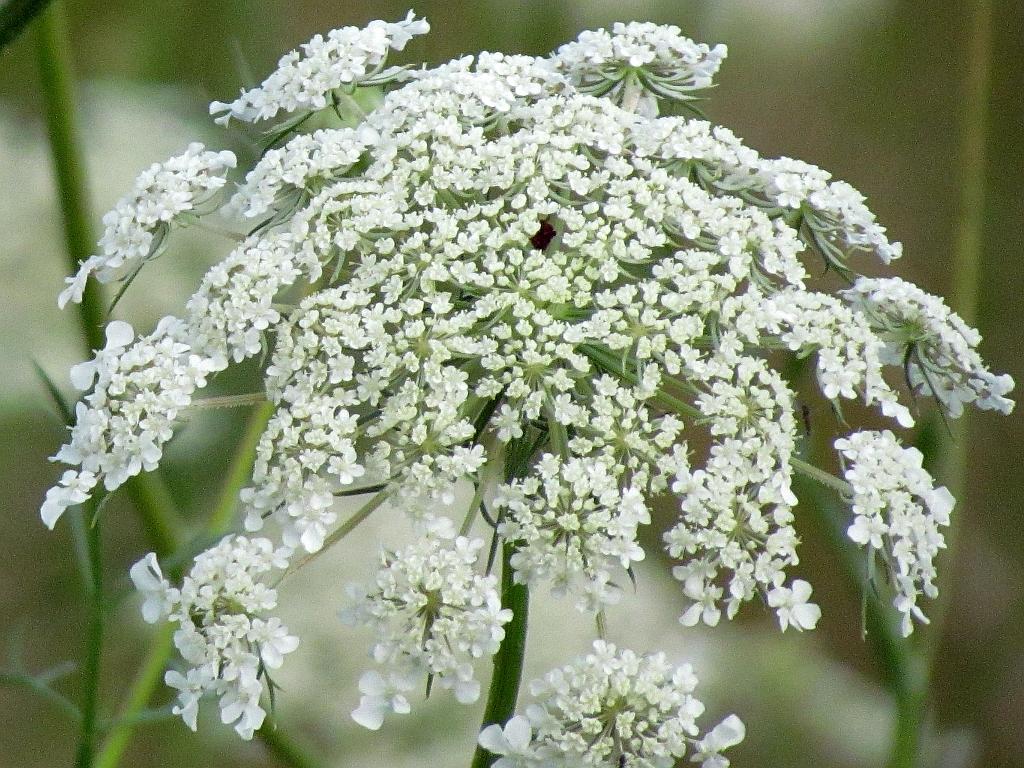 White wildflowers of ohios summer part 2 seasons flow i mightylinksfo