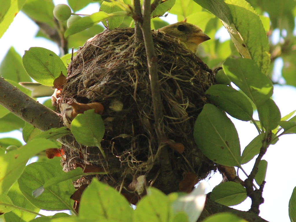 american goldfinch nest - photo #22