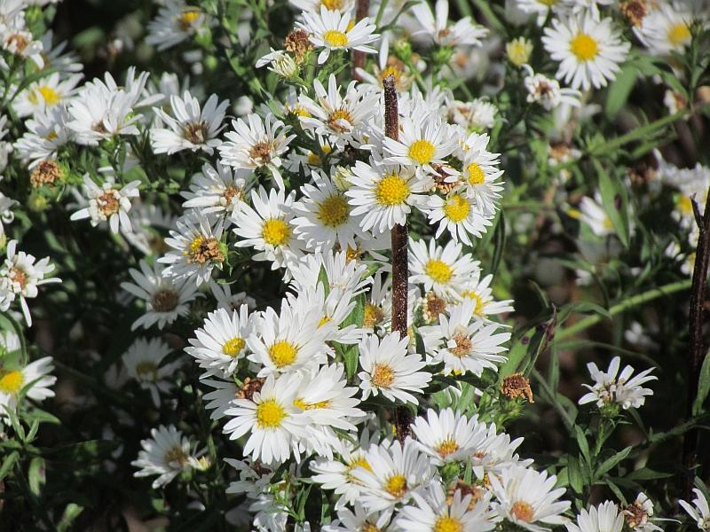 October wildflowers in ohio seasons flow asters mightylinksfo