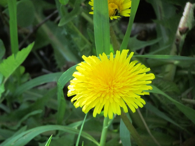 Nature in your yard whats a lions tooth seasons flow the flower is made up of many yellow ray florets mightylinksfo