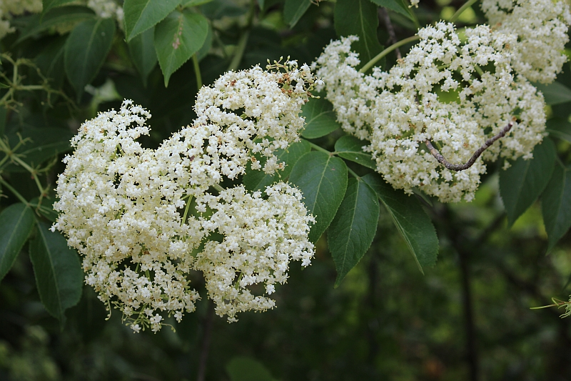 A Native Shrub Blooming In May Seasons Flow