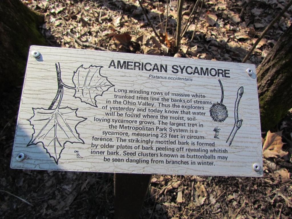 Ohio Trees American Sycamore Seasons Flow
