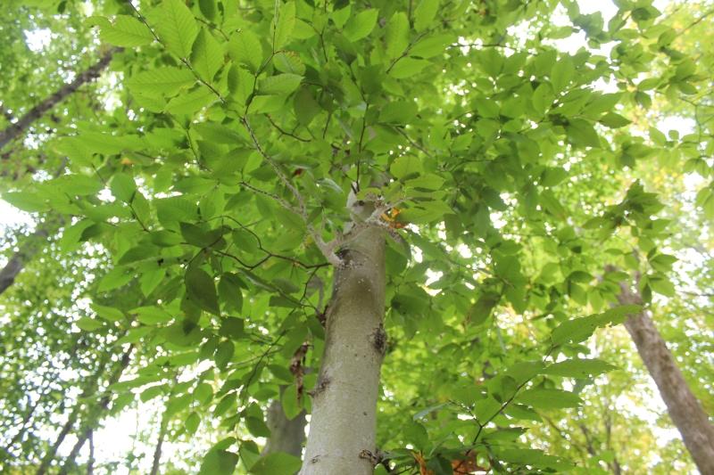 Ohio trees american beech seasons flow