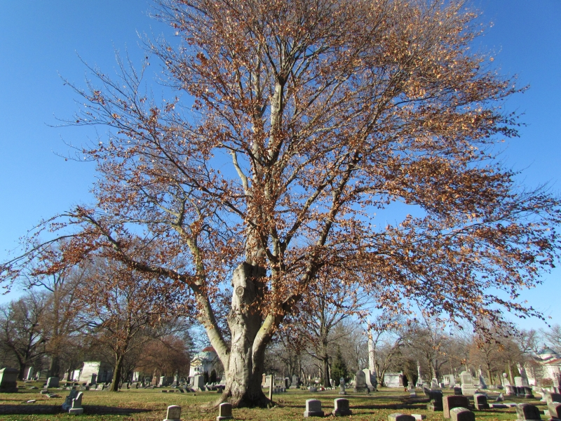 Uses For Beech Wood ~ Ohio trees american beech seasons flow