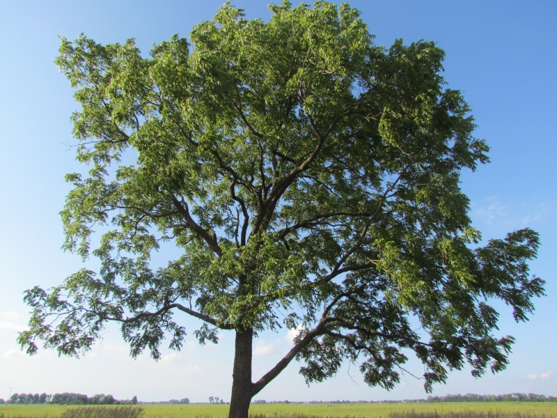 the black walnut tree The black walnut is botanically called juglans nigra the tree is a deciduous tree, it will be up to 30 m (99 ft) (rarely up to 50 m (164 ft)) high the leaves are pinnated and the flowers are greenish.