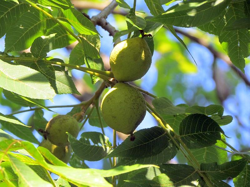 how to grow black walnut trees